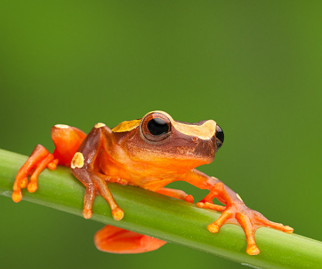 Frog in the Peruvian Amazon