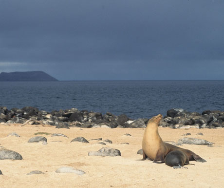 Galapagos sea lion nursing, Galpagos Islands, Ecuador - nursery with a view