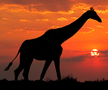 south-africa-giraffe-at-sunset