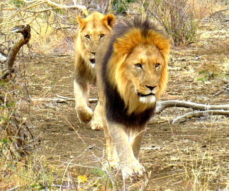 lions-in-madikwe-game-reserve