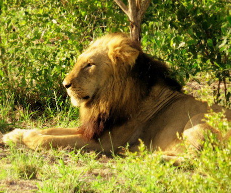 Lion in Kruger National Parki