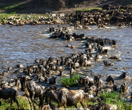 Wild Frontiers wildebeest river crossing