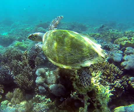 A turtle in the waters off Komodo National Park