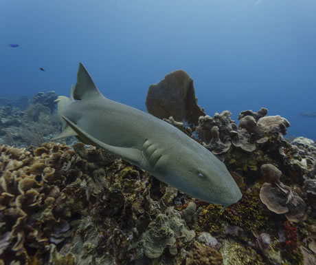 Nurse shark in waters off South Africa