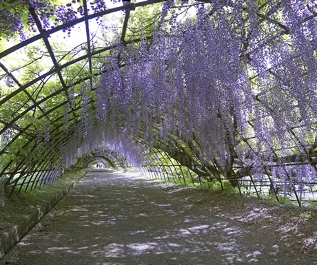Wisteria tunnel at the Kawachi Fuji Garden in Kitakyushu, Japan