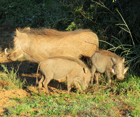Warthog family, Addo Elephant National Park, South Africa