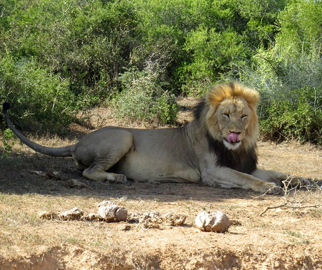 Majestic male lion, Addo Elephant National Park, South Africa